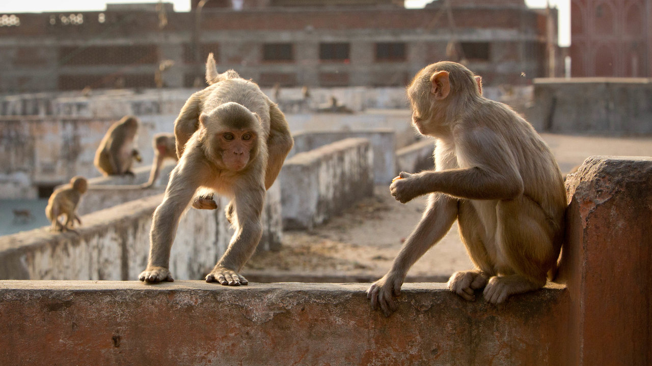 A group of Rhesus macaques making their way across Jaipur, India. These monkeys make a living raiding the fruit and veg markets in the city.