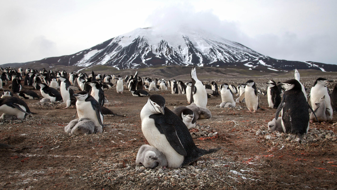 Chinstrap penguins and their chicks cover the slope of Zavodovski Island, an active volcano in the Southern Ocean. The island is just nine square miles in size, but it hosts the largest penguin colony on earth - some 1.5 million penguins come here to breed in the Antarctic summer.